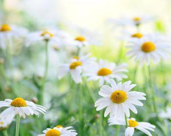 Збір і застосування лікарських рослин